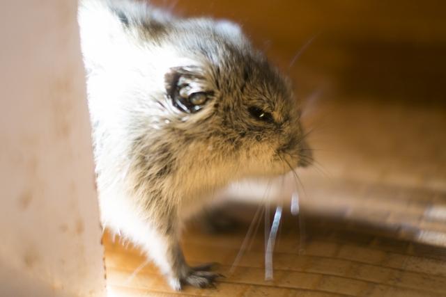 ネズミ駆除 口コミ